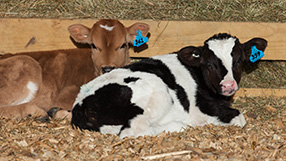 Calves sitting in calf housing