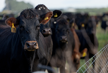 Cows by fence starch 380x258.jpg