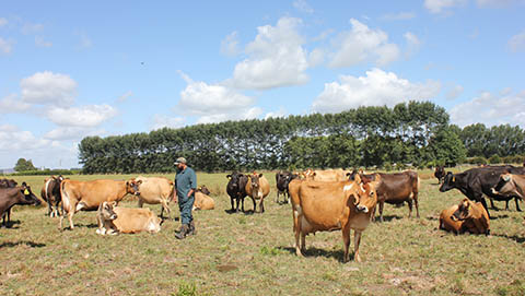 Dairy cattle in field with farmer