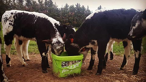Calves eating from SealesWinslow Maxx Calf Health Block