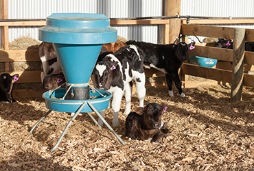 Calves in housing feeding